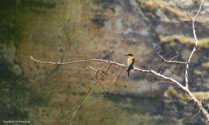 Bee-eater (Arıkuşu) - Hasankeyf / Batman