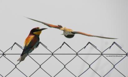 Bee-eater (Arıkuşu) - Keskin Barajı / Eskişehir