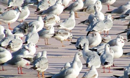 Black-headed Gull (Karabaş Martı)