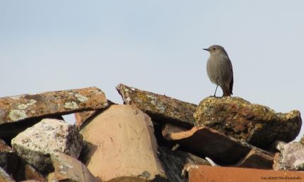 Black Redstart (Kara Kızılkuyruk) - Mayıslar Köyü / Eskişehir