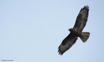 Common Buzzard (Şahin) - İğneada / Kırklareli