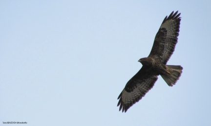 Common Buzzard (Şahin)