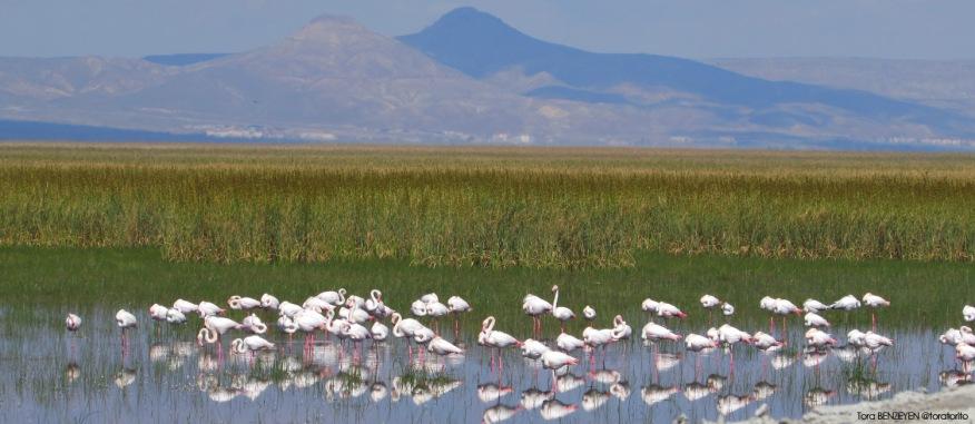 Flamingo - Sultansazlığı / Kayseri