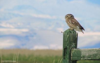 Little Owl (Kukumav) - - Sultansazlığı / Kayseri