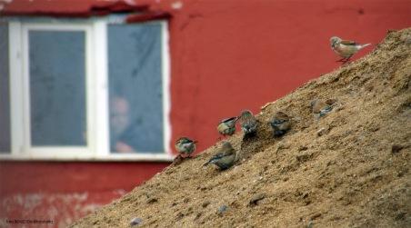 Linnet (Ketenkuşu) - Aladağlar / Niğde