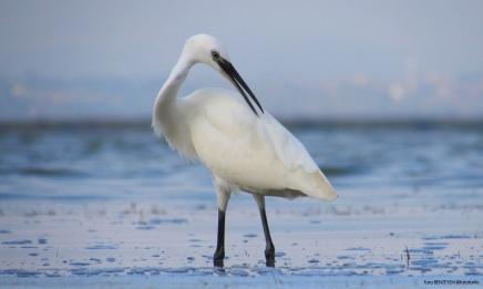 Little Egret (Küçük Akbalıkçıl) - Kızılırmak Deltası / Samsun