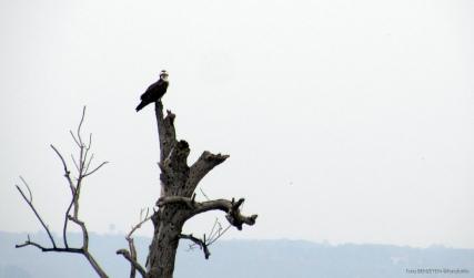 Osprey (Balık Kartalı) - Kızılırmak Deltası / Samsun