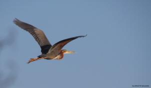 Purple Heron (Erguvani Balıkçıl) - Kızılırmak Deltası / Samsun