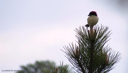 Woodchat Shrike (Kızılbaşlı Örümcekkuşu) - Mayıslar Köyü / Eskişehir