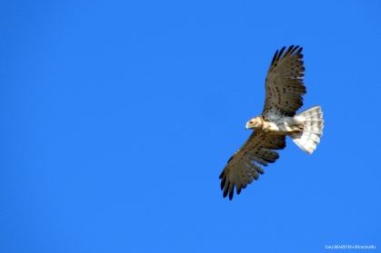 Short-toed Eagle (Yılan Kartalı) - Sultansazlığı / Kayseri