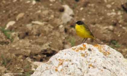 Yellow Wagtail (Sarı Kuyruksallayan) - Eskişehir