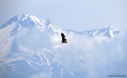 Egyptian Vulture (Küçük Akbaba) - Sultansazlığı / Kayseri