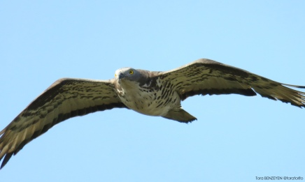 Honey Buzzard (Arı Şahini)