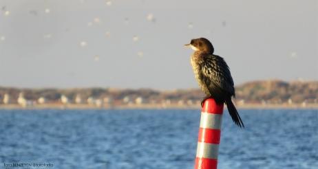 Pygmy Cormorant (Küçük Karabatak) - Gediz Deltası / İzmir