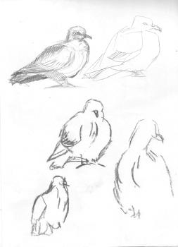 Güvercin (Pigeon)