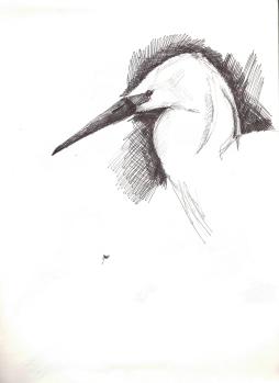 Küçük Ak Balıkçıl (Little Egret)