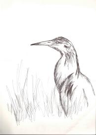 Alaca Balıkçıl (Squacco Heron)