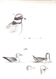 Halkalı Küçük Cılıbıt ve Gümüş Martı(Little Ringer Plover and Yellow-legged Gull)