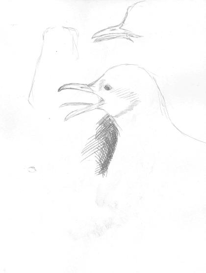 Kar aayaklı Martı (Kittiwake)