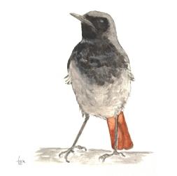 Kara kızılkuyruk - Black Redstart