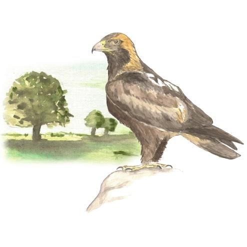 Şah kartal - Imperial Eagle