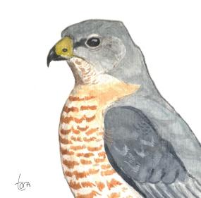 Yaz atmacası - Levant Sparrowhawk