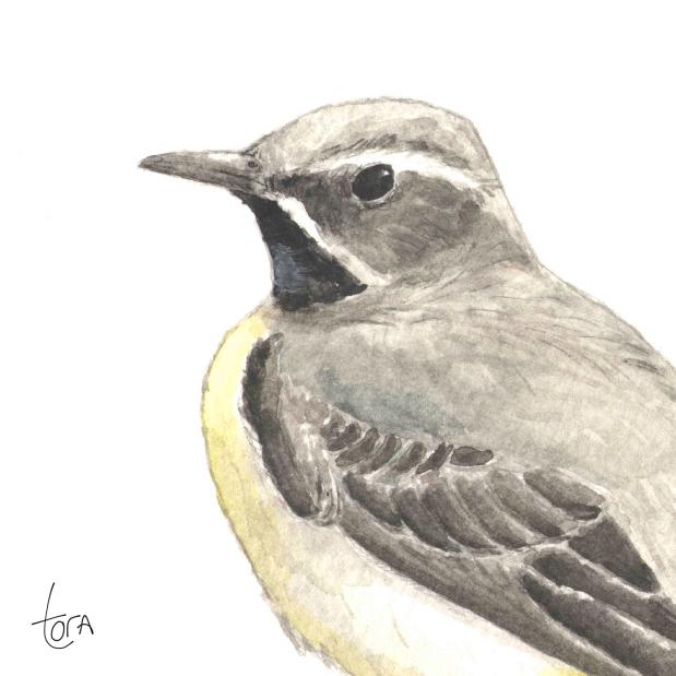 Sarı kuyruksallayan - Yellow Wagtail