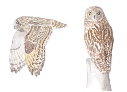 Kır baykuşu - Short-eared Owl