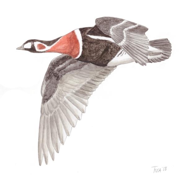 Sibirya kazı - Red-fronted Goose