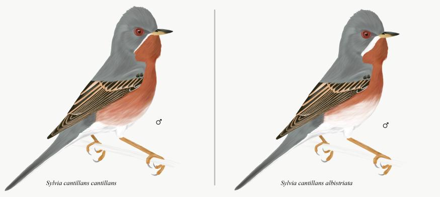 Bıyıklı ötleğen - Subalpine Warbler