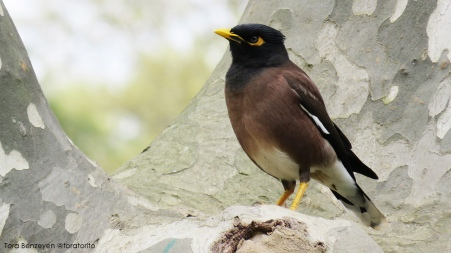 Common Myna (Çiğdeci)