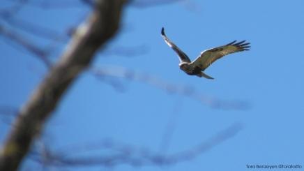 Rough-legged Buzzard (Paçalı şahin) - Kızılırmak Deltası / Samsun