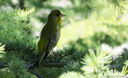 Greenfinch (Florya)