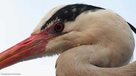 Grey Heron (Gri Balıkçıl)