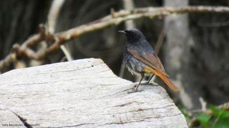 Black Redstart (Kara Kızılkuyruk) - Çubuk / Ankara