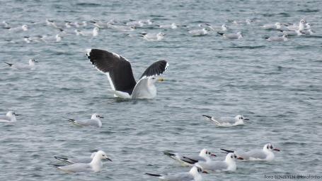 Great Black-backed Gull (Büyük karasırtlı martı) - Menekşe Plajı / İstanbul