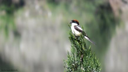 Woodchat Shrike (Kızılbaşlı örümcekkuşu) - Sarıyar Barajı / Eskişehir