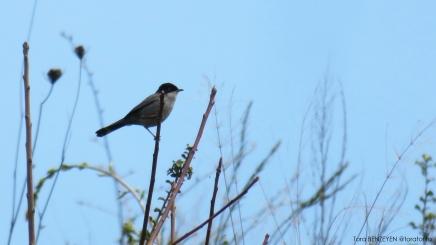 Sardinian Warbler (Maskeli ötleğen) - Anadolukavağı / İstanbul