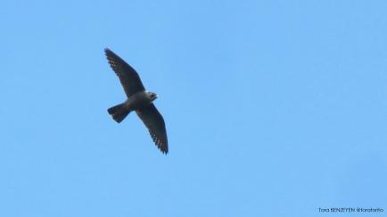 Peregrine Falcon (Gökdoğan)