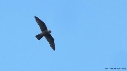 Peregrine Falcon (Gökdoğan) - Anadolukavağı / İstanbul