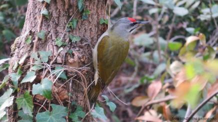 Grey-headed Woodpecker (Küçük yeşil ağaçkakan) - Beykoz Korusu / İstanbul