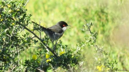 Sardinian Warbler (Maskeli ötleğen) - Rumelifeneri / İstanbul