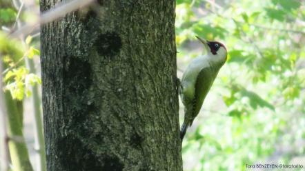Green Woodpecker (Yeşil ağaçkakan) - Beykoz Korusu / İstanbul