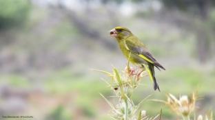 Greenfinch (Florya) - Gökçeada