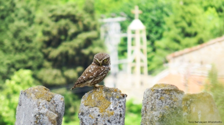 Little Owl (Kukumav) - Gökçeada