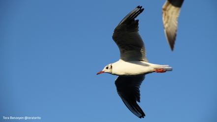 Black-headed Gull (Karabaş martı) - Çanakkale Boğazı